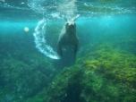Posing sea lion