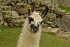 Friendly Llama