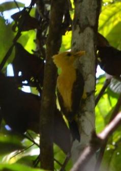 Yellow wood pecker
