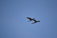 A pair for life- Macaws