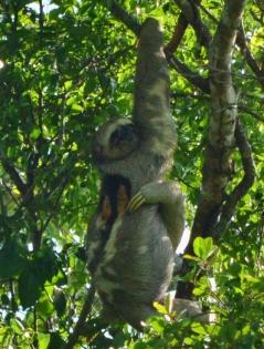 Sloth having a scratch