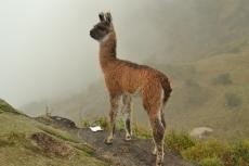 Cute little baby llama