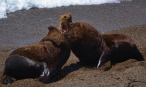 Fighting male sea lions. Mating season