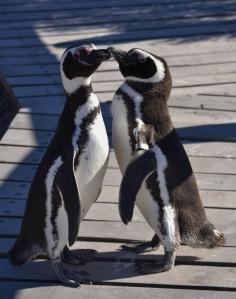 Courting Penguins Punta Tombo