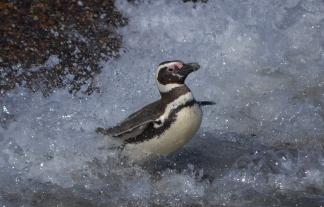 Penguin in sea Punta Tombo