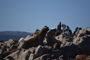 Sealions on the Beagle Channel