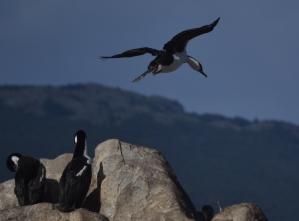Landing Cormorant