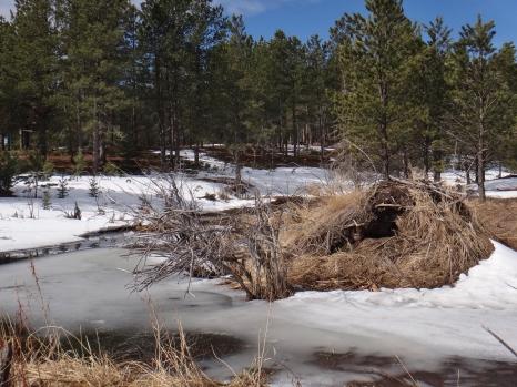 Beaver Den and Dam