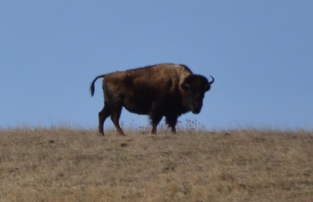 Bill the Buffalo