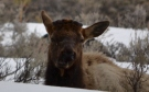 Bull Elk - Just lost his Antlers