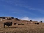 Bison Galore!