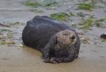 Moss Landing Otters - Monterey