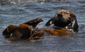 Otters Morro Bay